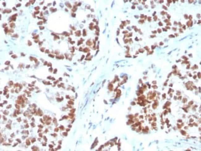 NKX3.1 Mouse anti-Human, Clone: NKX3.1/3350, Novus Biologicals:Antibodies:Primary