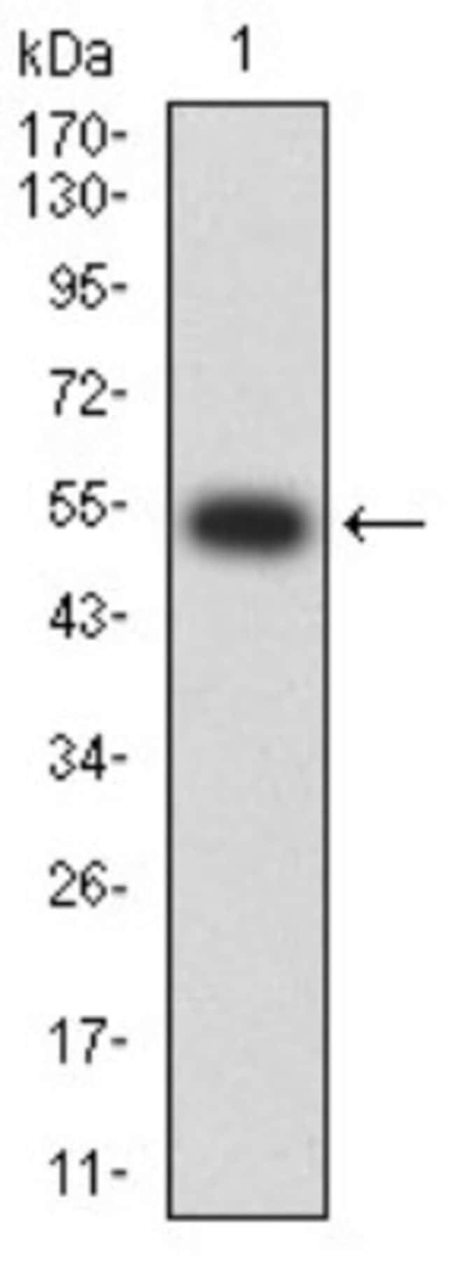 Nicotinic Acetylcholine R alpha 2/CHRNA2 Mouse anti-Human, Rat, Clone: