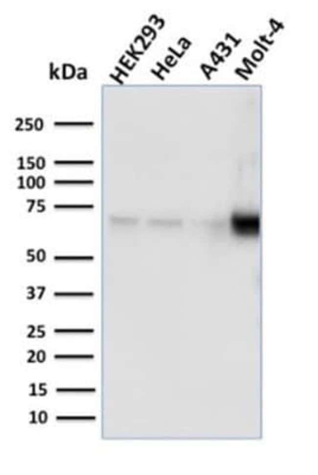 Nrf1 Mouse anti-Human, Clone: NRF1/2609, Novus Biologicals:Antibodies:Primary
