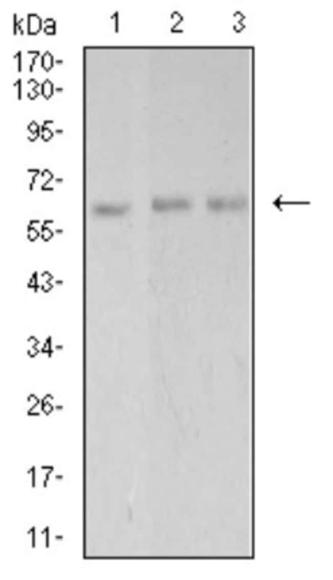 PAK3 Mouse anti-Human, Clone: 4G8A5, Novus Biologicals 0.1 ml; Unconjugated