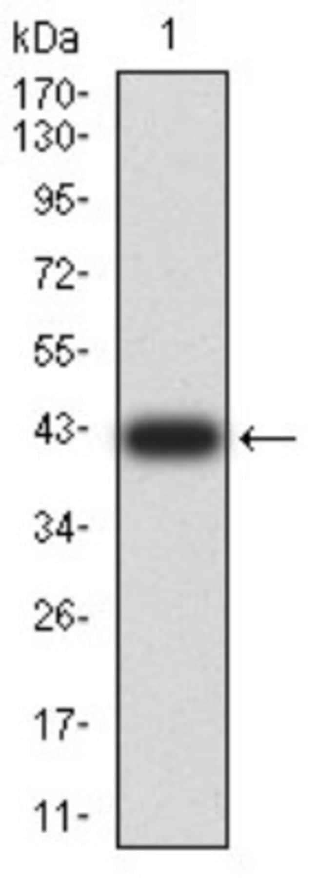 PELP1 Mouse anti-Human, Clone: 2D6D11, Novus Biologicals 0.1 ml; Unconjugated