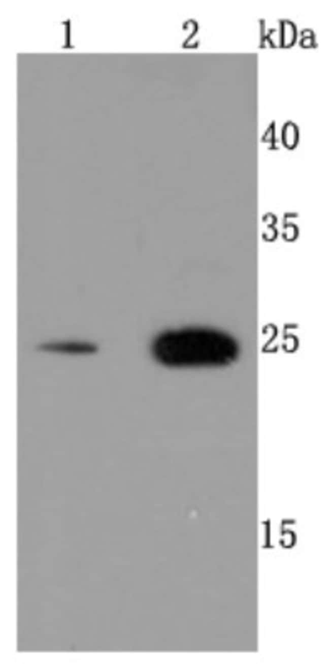 Peroxiredoxin6 Rabbit anti-Human, Clone: JM11-13, Novus Biologicals 100μL