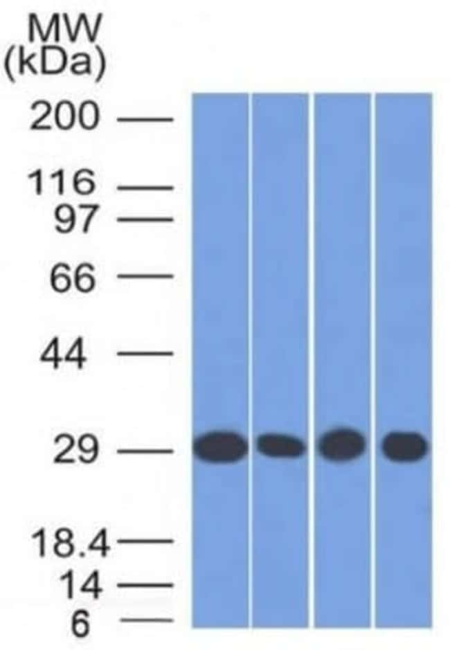 Prohibitin Mouse anti-Human, Clone: PHB/1882, Novus Biologicals:Antibodies:Primary