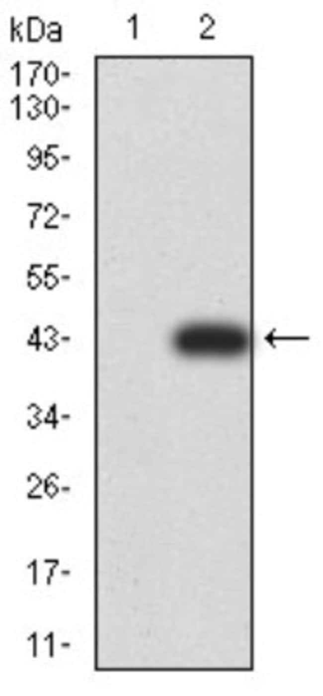 RAB6B Mouse anti-Human, Rat, Clone: 6D12G9, Novus Biologicals 0.1 ml; Unconjugated