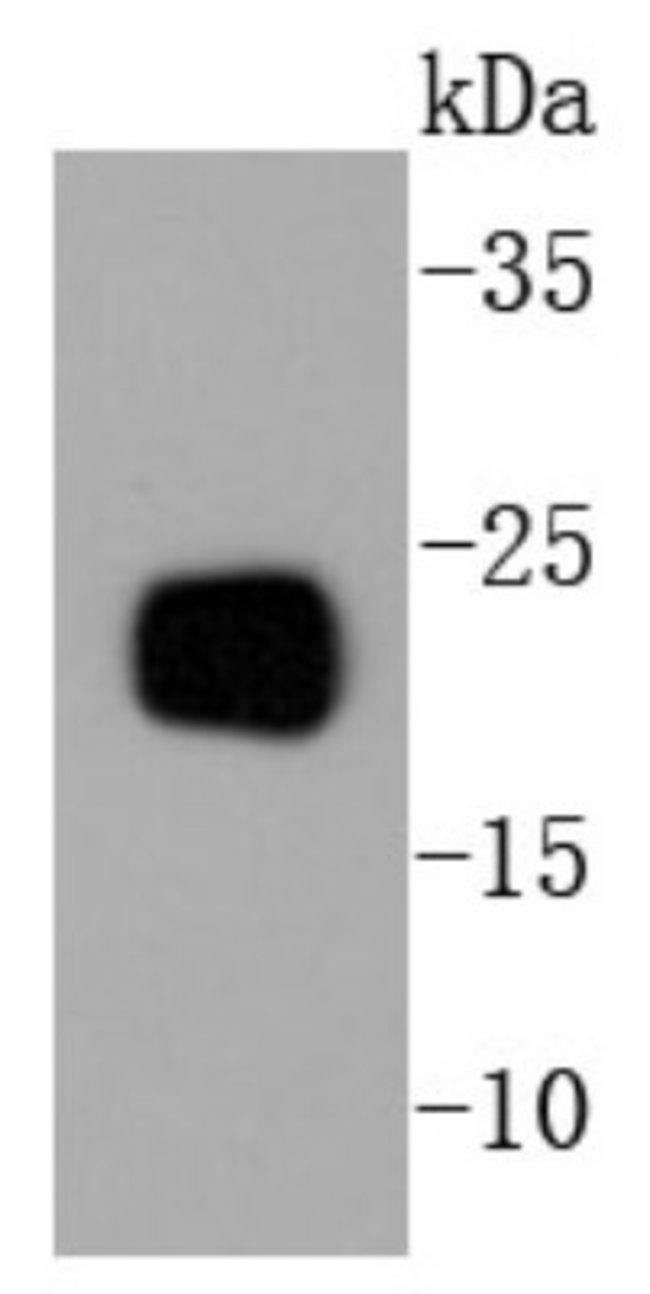 RKIP/PBP Rabbit anti-Human, Clone: SC58-09, Novus Biologicals 100μL:Antibodies