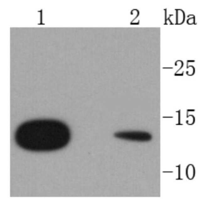 RPS20 Rabbit anti-Human, Clone: SC65-08, Novus Biologicals 100μL:Antibodies