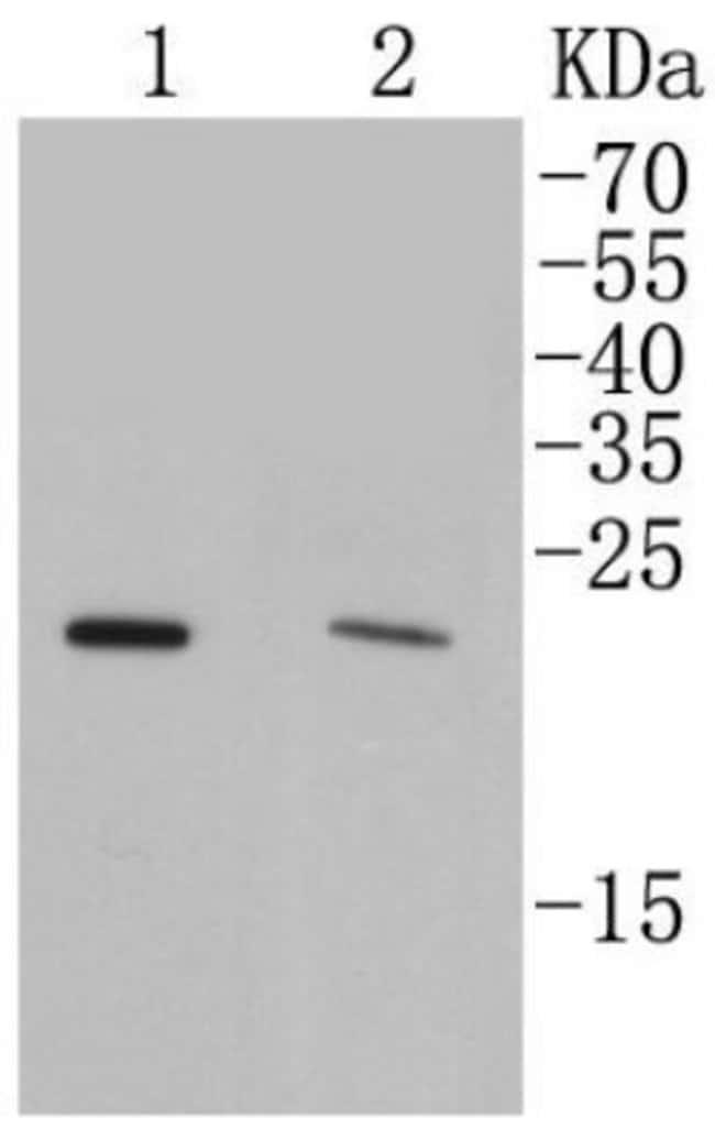 Rab4 Rabbit anti-Human, Clone: SR27-08, Novus Biologicals 100µL