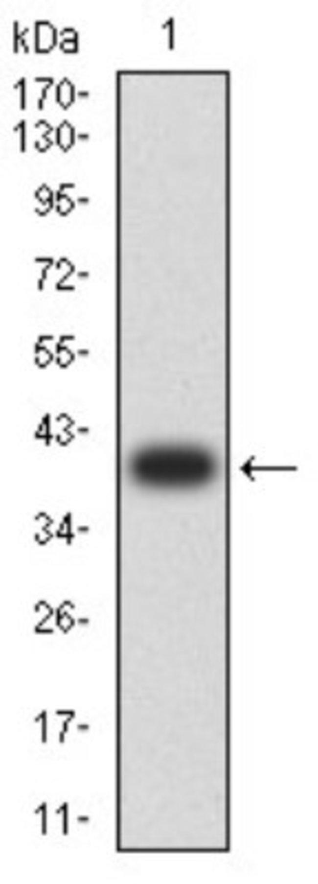 RalB Mouse anti-Human, Mouse, Monkey, Clone: 7F8B4, Novus Biologicals 0.1