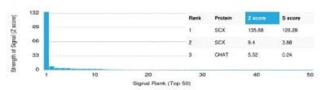 SCX Mouse anti-Human, Clone: PCRP-SCXA-2D11, Novus Biologicals:Antibodies:Primary