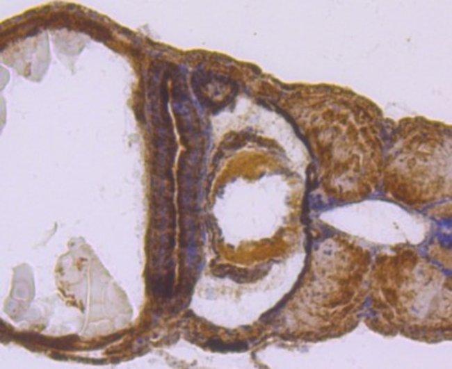 SDHA Rabbit anti-Human, Clone: JM10-83, Novus Biologicals 100μL:Antibodies
