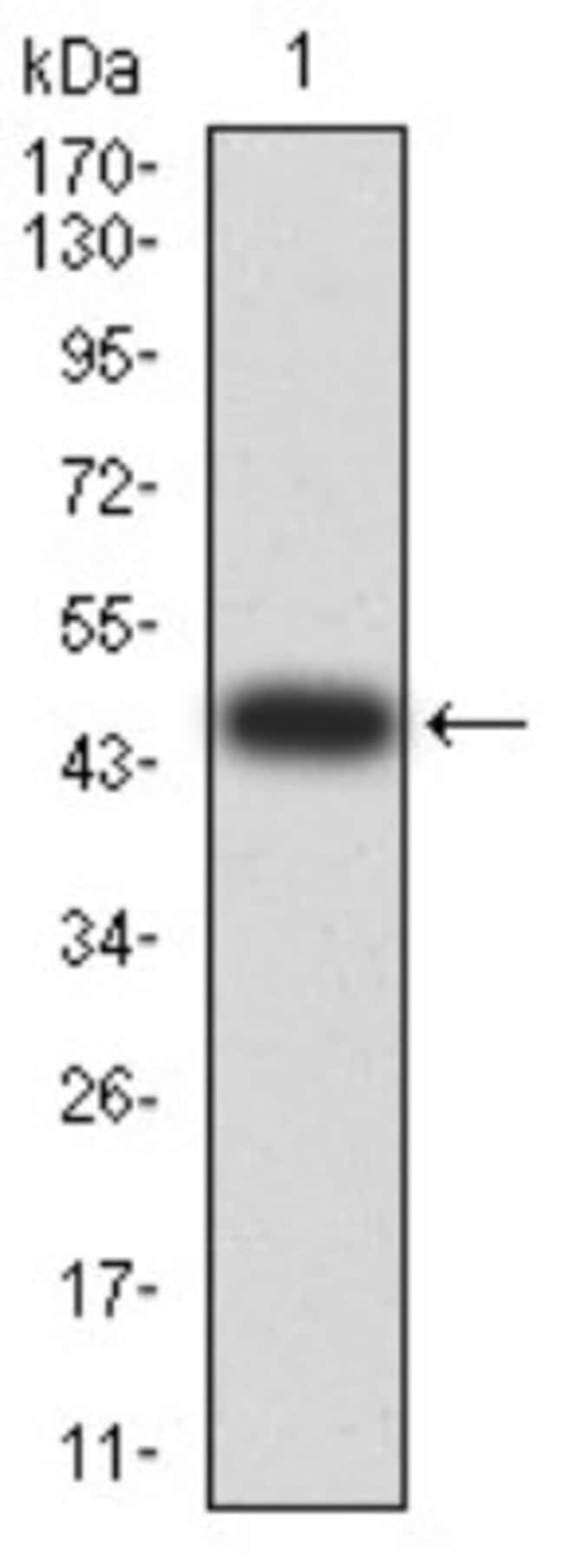 SELS Mouse anti-Human, Clone: 5G4A10, Novus Biologicals 0.1 ml; Unconjugated