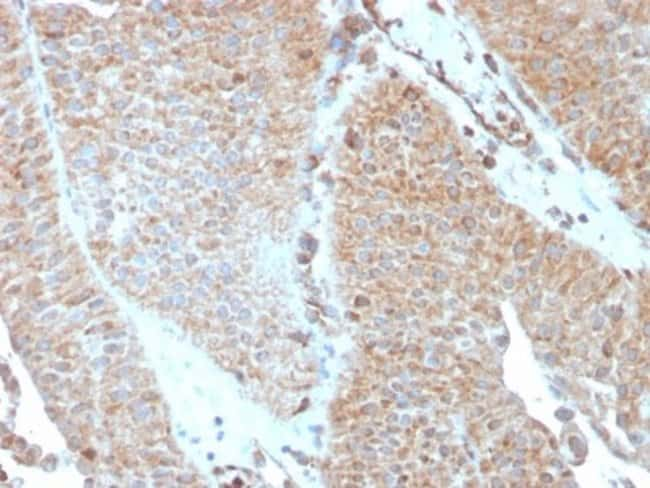 SERBP1, Mouse anti-Human, Clone: SERBP1/3493, Novus Biologicals:Antibodies:Primary
