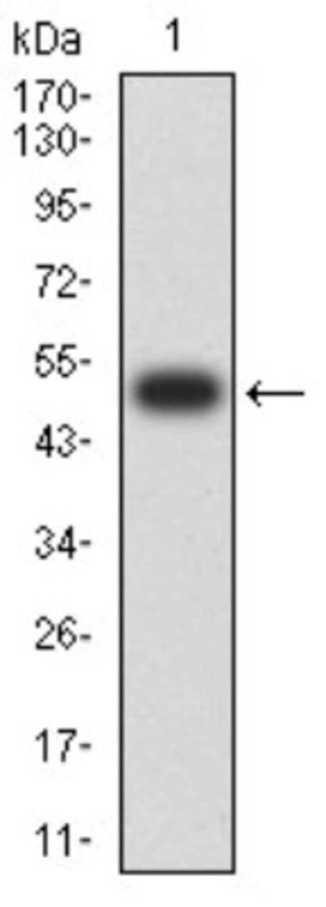 SOD2/Mn-SOD Mouse anti-Human, Clone: 8H3F9, Novus Biologicals 0.1 ml; Unconjugated