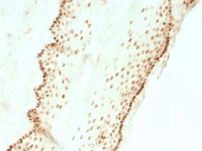 SOX2 Rabbit anti-Human, Mouse, Clone: SOX2/3811R, Novus Biologicals:Antibodies:Primary