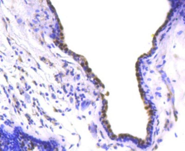 SOX9 Rabbit anti-Human, Clone: SN74-09, Novus Biologicals 100µL