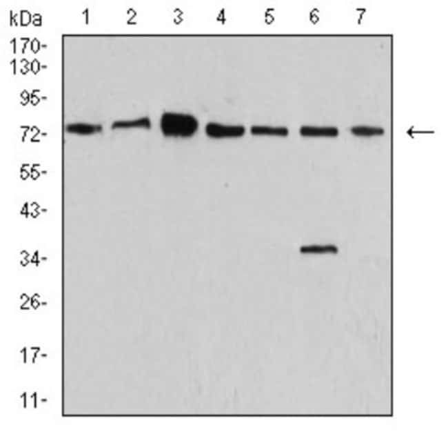 Synapsin I Mouse anti-Human, Mouse, Rat, Monkey, Clone: 7H10G6, Novus Biologicals