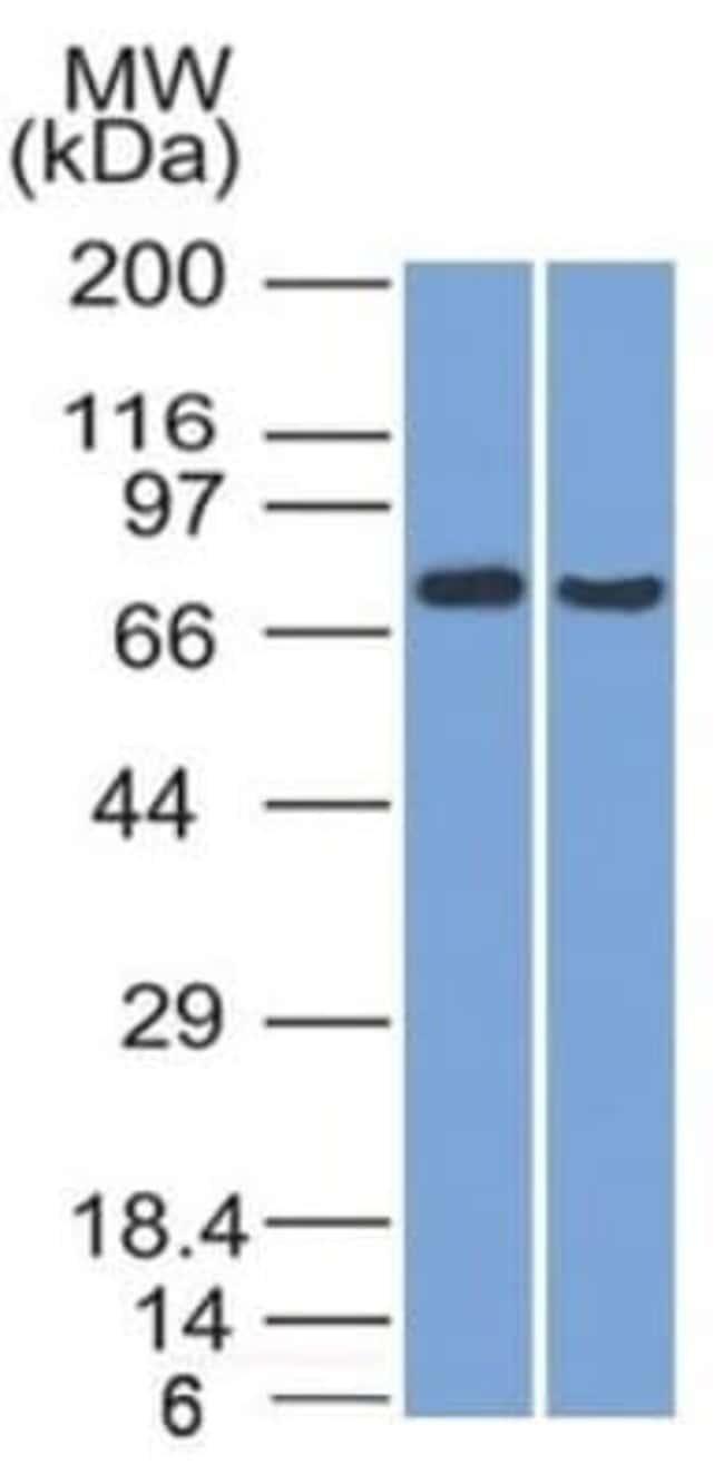 TCF4 Mouse anti-Human, Clone: TCF4/1705, Novus Biologicals:Antibodies:Primary