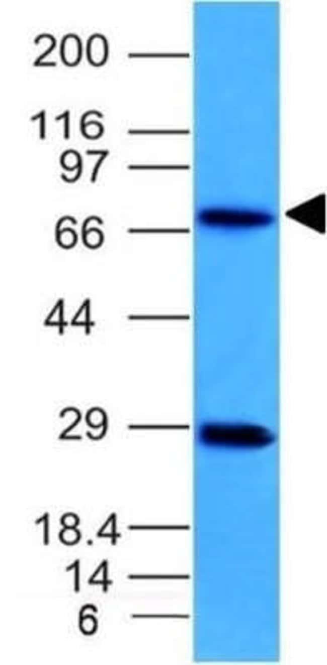 TOP1MT Mouse anti-Human, Clone: TOP1MT/613, Novus Biologicals:Antibodies:Primary