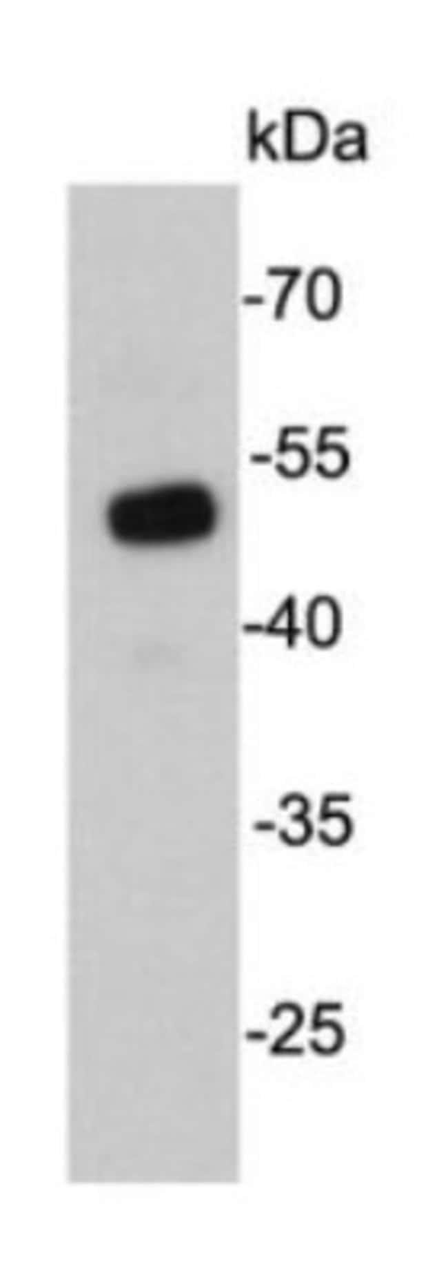 UTF1 Mouse anti-Human, Clone: E0-F4, Novus Biologicals 100µL