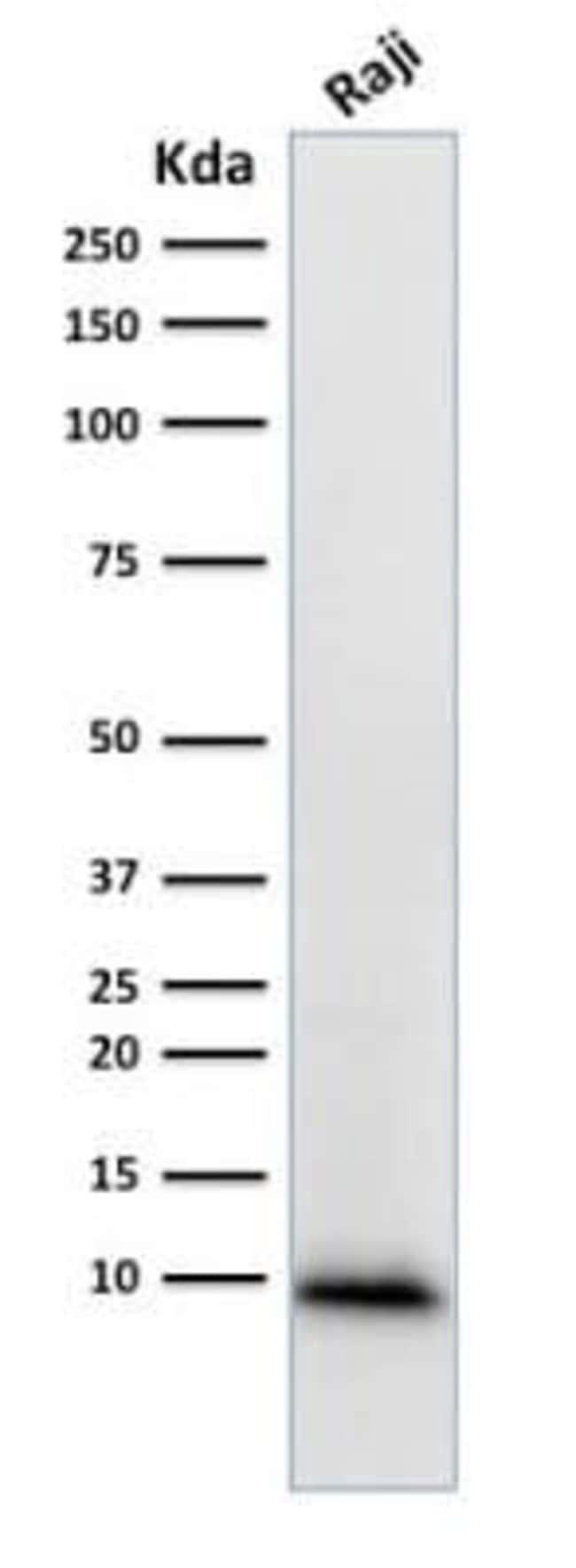 Ubiquitin B Mouse anti-Human, Clone: UBB/1748, Novus Biologicals:Antibodies:Primary