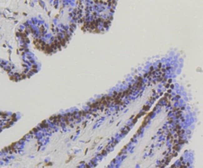 YAP1 Rabbit anti-Human, Mouse, Clone: SU33-06, Novus Biologicals 100μL:Antibodies