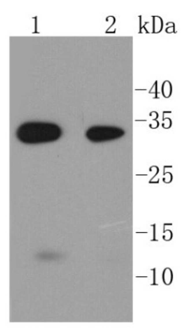 Caspase-6 Rabbit anti-Human, Mouse, Rat, Clone: SC56-09, Novus Biologicals