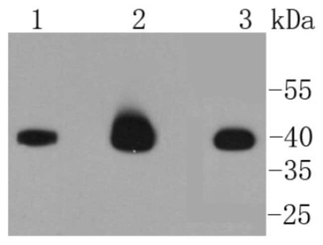 Caspase-9 Rabbit anti-Human, Mouse, Clone: SC65-05, Novus Biologicals 100μL:Antibodies