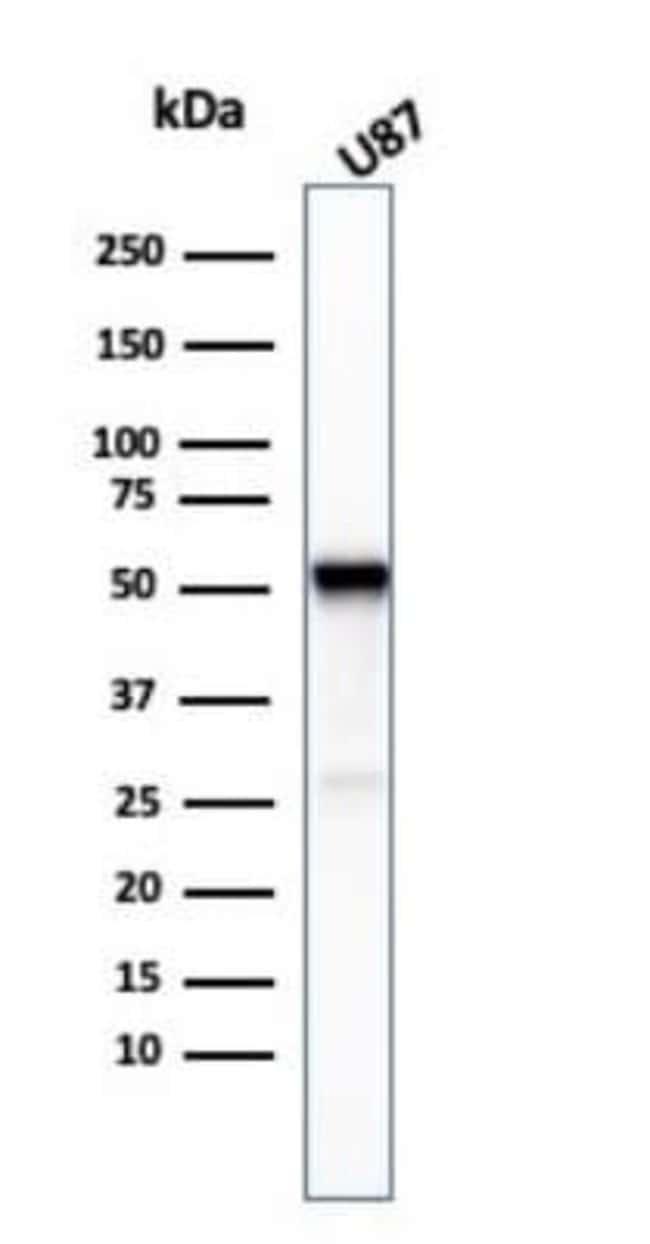 beta-III Tubulin Mouse anti-Human, Clone: TUBB3/3732, Novus Biologicals:Antibodies:Primary