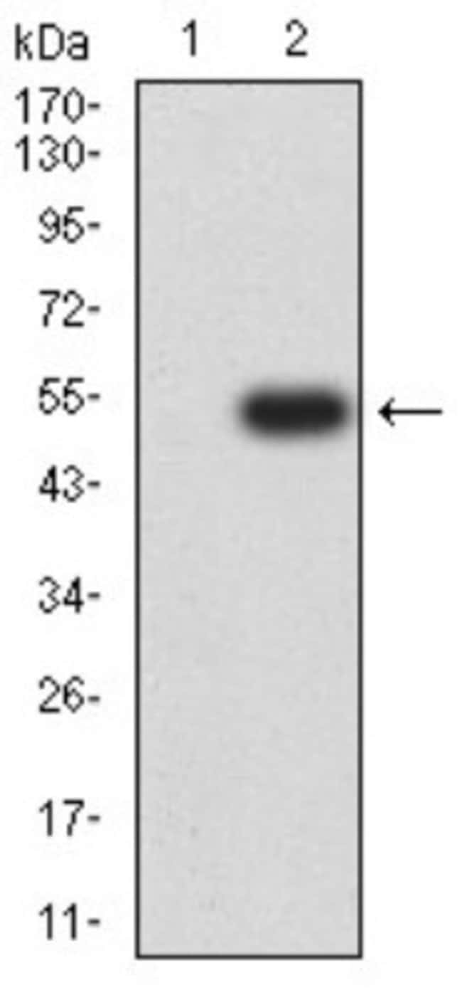 mGluR3 Mouse anti-Human, Clone: 6H10C3, Novus Biologicals 0.1 ml; Unconjugated
