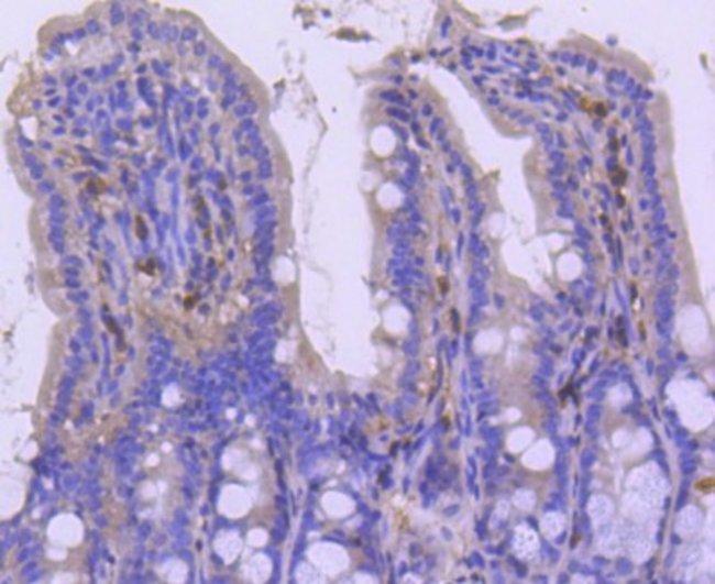 p27/Kip1 Rabbit anti-Human, Mouse, Rat, Clone: SU37-04, Novus Biologicals