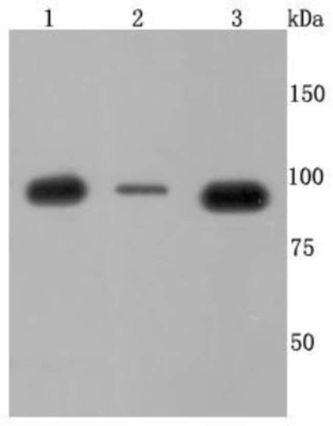 p97/VCP Rabbit anti-Human, Mouse, Rat, Fish, Zebrafish, Clone: JM11-15,