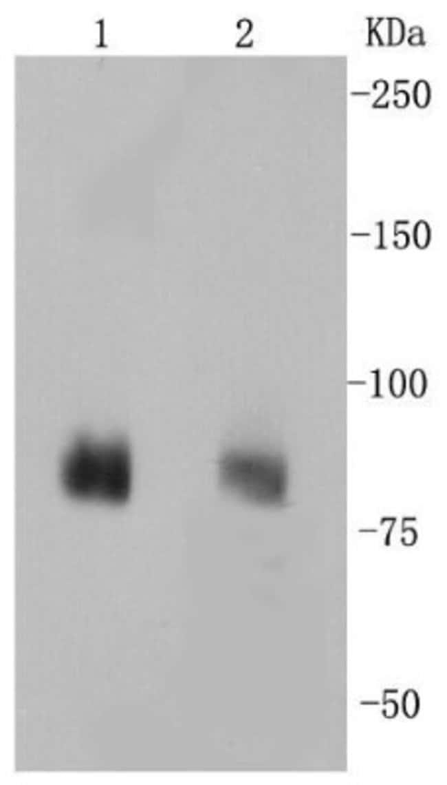 PSD-95 Rabbit anti-Human, Mouse, Rat, Clone: SR38-09, Novus Biologicals