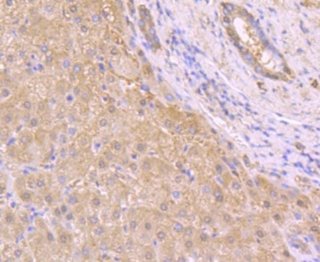 t-PlasminogenActivator/tPA Mouse anti-Human, Clone: AH54-10, Novus Biologicals