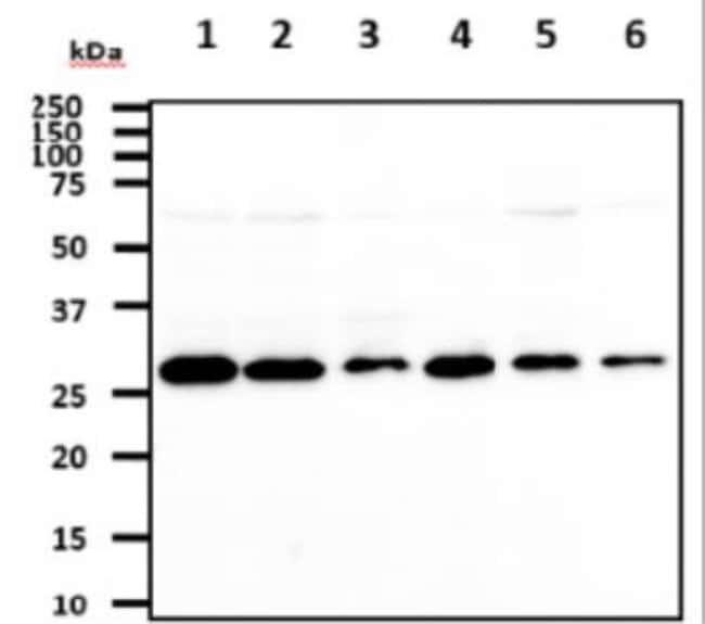 anti-Mouse 14-3-3 tau/theta, Clone: 1A1, Novus Biologicals 0.1mL; Unlabeled:Life