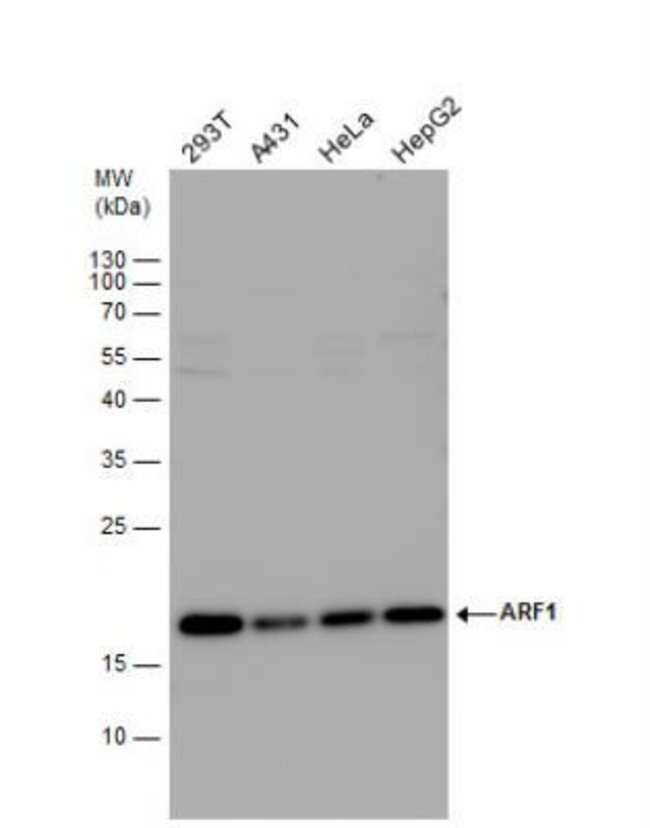 anti-ARF1, Polyclonal, Novus Biologicals 0.1mL; Unlabeled:Life Sciences