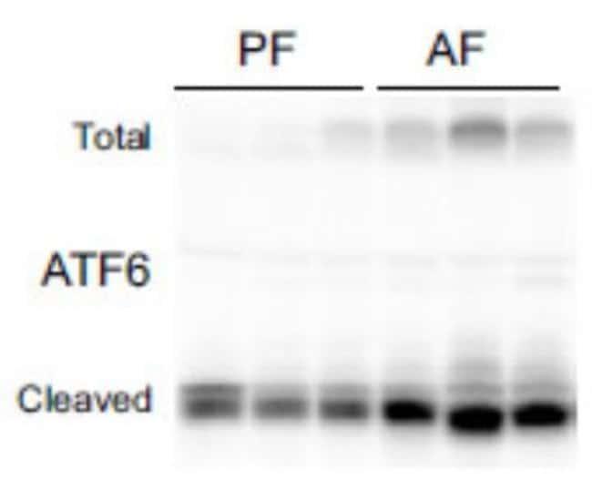 Mouse anti-ATF6, Clone: 70B1413.1, Novus Biologicals 0.1mg; Unlabeled:Life