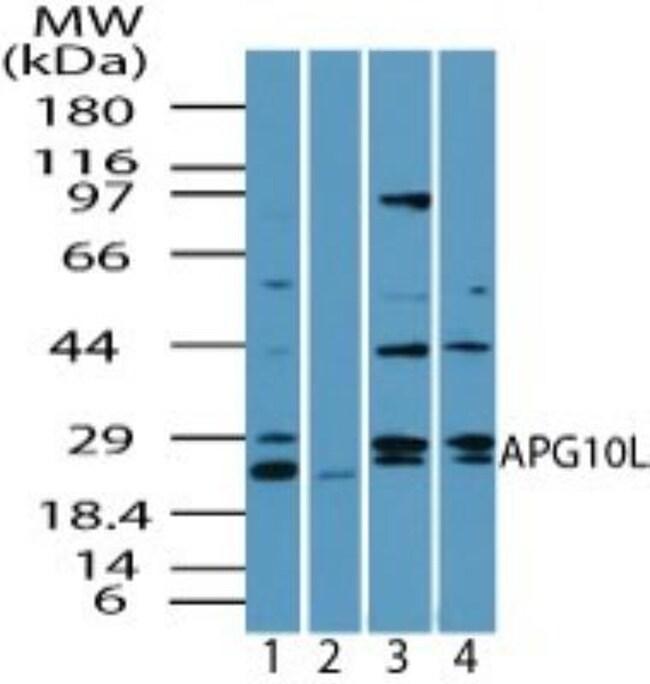 anti-ATG10, Polyclonal, Novus Biologicals:Antibodies:Primary Antibodies