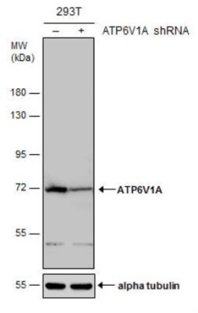 anti-ATP6V1A, Polyclonal, Novus Biologicals 0.1mL; Unlabeled:Life Sciences