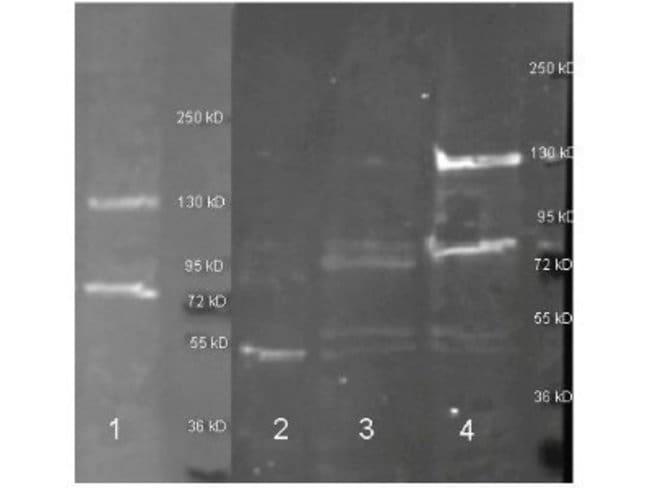 Rabbit anti-Adenosine Deaminase/ADA, Polyclonal, Novus Biologicals 0.1mg:Life