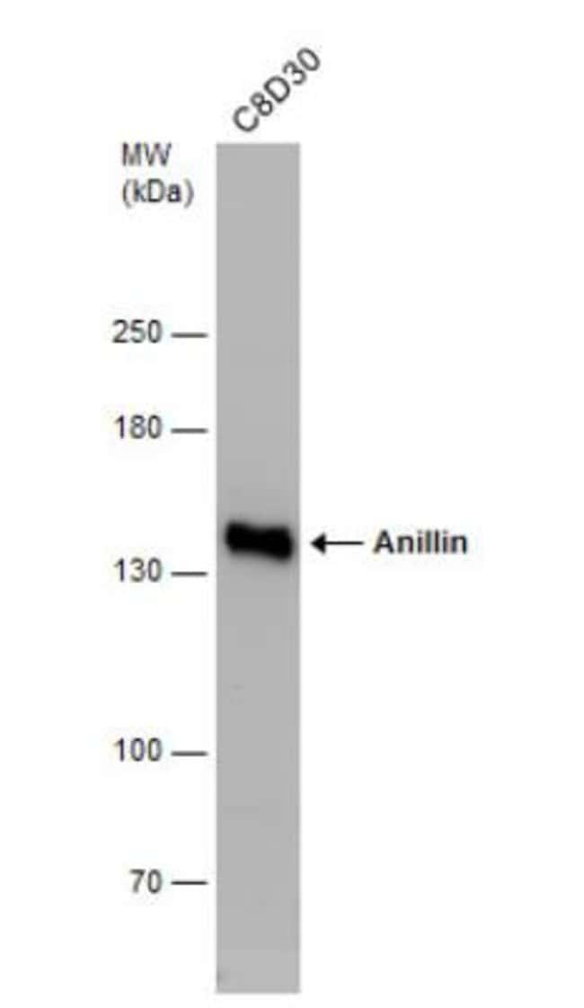anti-Anillin, Polyclonal, Novus Biologicals 0.1mg; Unlabeled:Life Sciences