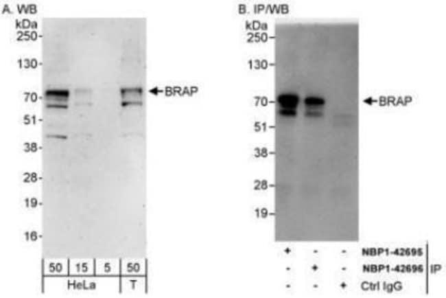 anti-BRAP, Polyclonal, Novus Biologicals 0.1mg; Unlabeled:Life Sciences