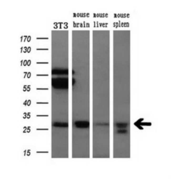 anti-Bcl-xL, Clone: 4A9, Novus Biologicals 0.1mL; Unlabeled:Life Sciences