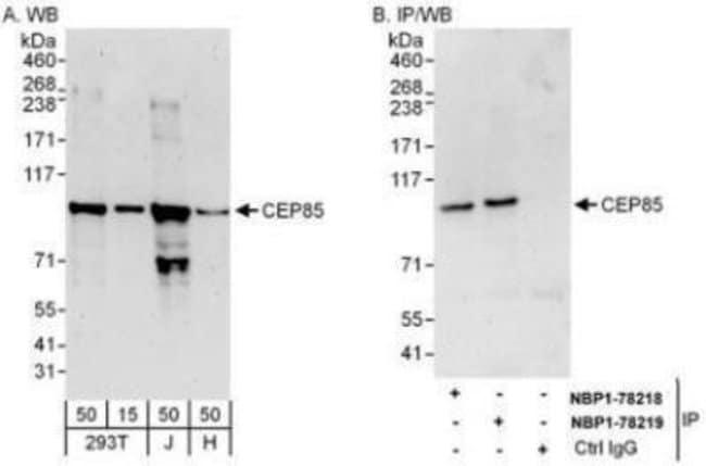 anti-CCDC21, Polyclonal, Novus Biologicals 0.1mg; Unlabeled:Life Sciences