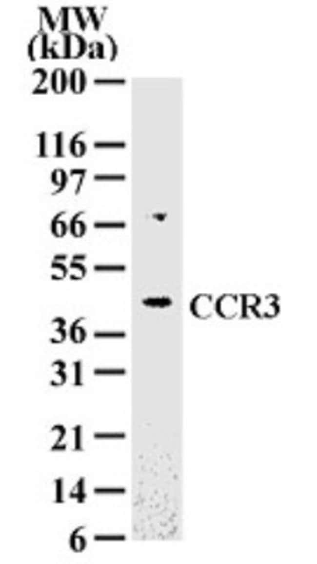 anti-CCR3, Polyclonal, Novus Biologicals:Antibodies:Primary Antibodies
