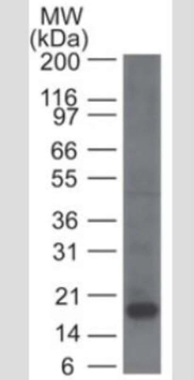 Mouse anti-CD161, Clone: 14F1F11, Azide Free, Novus Biologicals:Antibodies:Primary