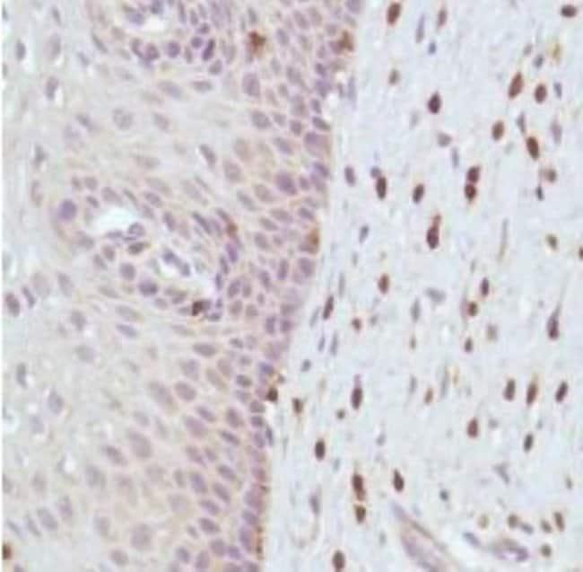 Rabbit anti-CD3 epsilon, Clone: SP7, Novus Biologicals:Antibodies:Primary