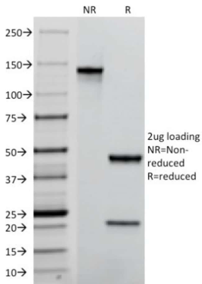 Mouse anti-CD31/PECAM-1, Clone: C31.7, Novus Biologicals:Antibodies:Primary