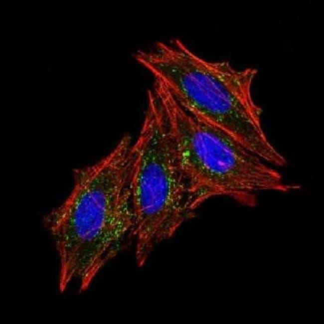 Mouse anti-CD63, Clone: MX-49.129.5, Azide Free, Novus Biologicals:Antibodies:Primary