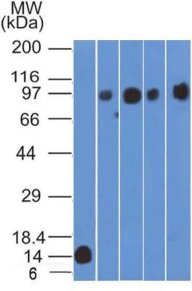 Mouse anti-CD98, Clone: 1C11.7E3, Novus Biologicals:Antibodies:Primary