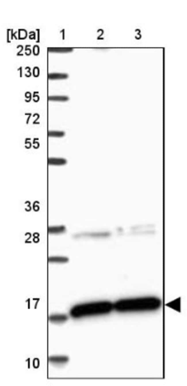 anti-CNPY2, Polyclonal, Novus Biologicals 0.1mL; Unlabeled:Life Sciences